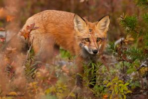 Red Fox 3 by Les-Piccolo