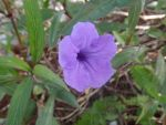 Purple Mexican Petunia Flower by DreamsWithinMe
