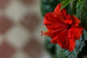 Red Hibiscus by sztewe