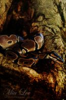 Royal Python 02 by MiaLeePhotography