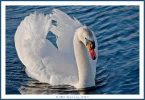Male Swan or Cob 217-10f by mym8rick