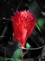 Bromeliad Blossom by joeyartist