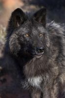 Wolf Portrait by Gregro