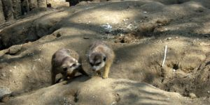 Meercats 2 by my-dog-corky