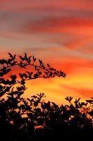 Blackberry Sunset Bush by swordedsaint