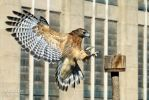 Red-Shouldered Hawk by lost-nomad07