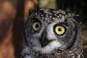 African Spotted Eagle Owl by cycoze