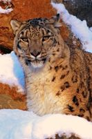 snow leopard in the snow :D by mia95