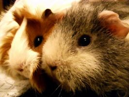 Guinea pig M und H close up by Lazuli23