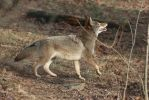 Eastern Coyote Stock 1 by HOTNStock