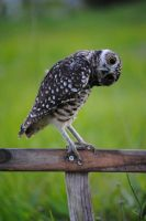 Burrowing Owl by sparrowtail