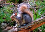 Squirrel With Nut 01 by TemariAtaje