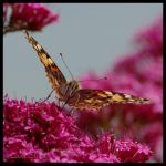 Painted Lady VI by Caelitha
