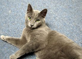 Russian Blue by Offended-By-Light