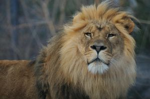 Lion 7238 by mgroberts