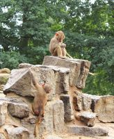 young baboons by abcdefoxx