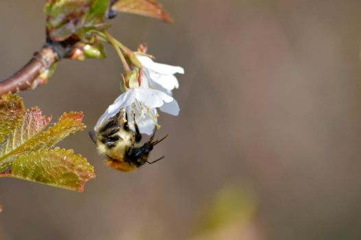 Bee on a cherry blossom by Princess-Amy