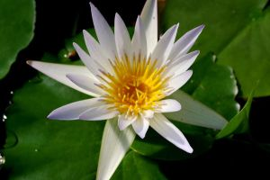 Water Lily III by expression-stock