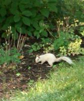 Albino Squirrel by Matsucorp
