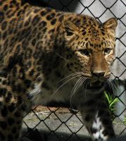 Amur Leopard Stock 13 by HOTNStock