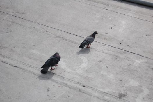 Pigeons by vicissitude-stock