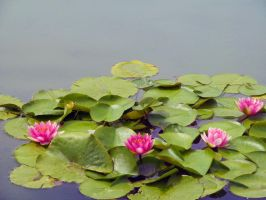 Lily pads by KristenBlue