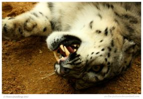 Submissive Snow Leopard by In-the-picture