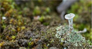 the Trumpet Lichen by OK-Photography