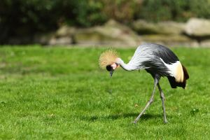 Grey Crowned Crane scanning by janernn