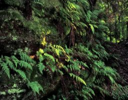 Ferns Along the Path by sixwings