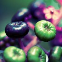 Pokeweed by MyntaSnaps