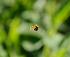 Bee in flight by Citruspers
