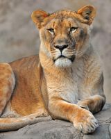 Lioness Portrait by robbobert