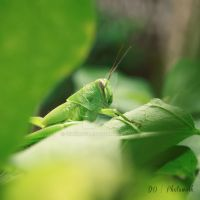 grasshopper by dianapple