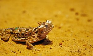 Horned Lizard by MorrighanGW