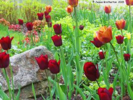 Brown And Yellow Tulips by jim88bro