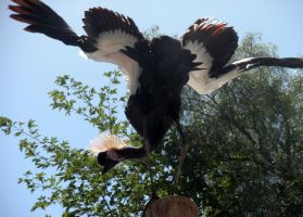 S African crowned crane by fosspathei