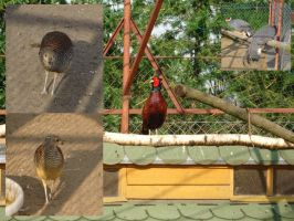 Pheasants by Comacold-stock