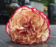 carnation by pgmt