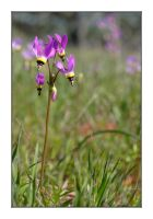 Dodecatheon Clevelandii by The-Stealth-Ninja