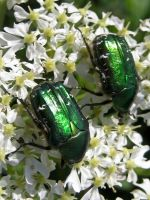 Rose Chafer by iriscup