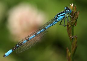 Damsel Fly 3 by spitfire900