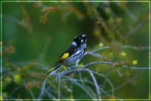New Holland Honeyeater by Jer-Trow