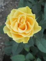 Yellow rose 1 by FuriarossaAndMimma