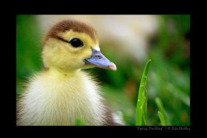 Spring Duckling by robin-sparrow