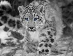 Snow Leopard: Feb. 27. 2012 by PracticallyUseless
