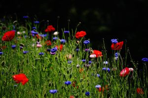 Poppy meadow stock by rustymermaid-stock