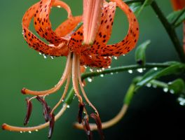 Tiger Lily by TimLaSure