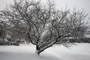 Snowy Crab Apple Tree by Nebey