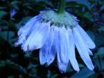 Bleue melancolie... by Redcorp